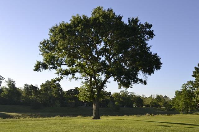 Teak Baum