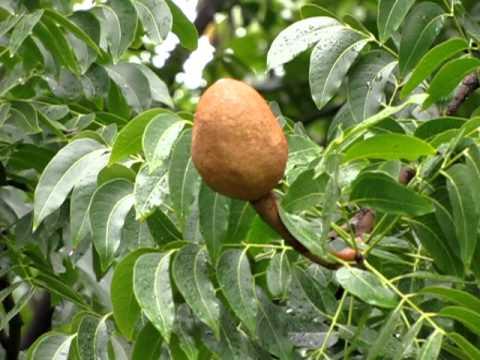 Mahagoni Blätter