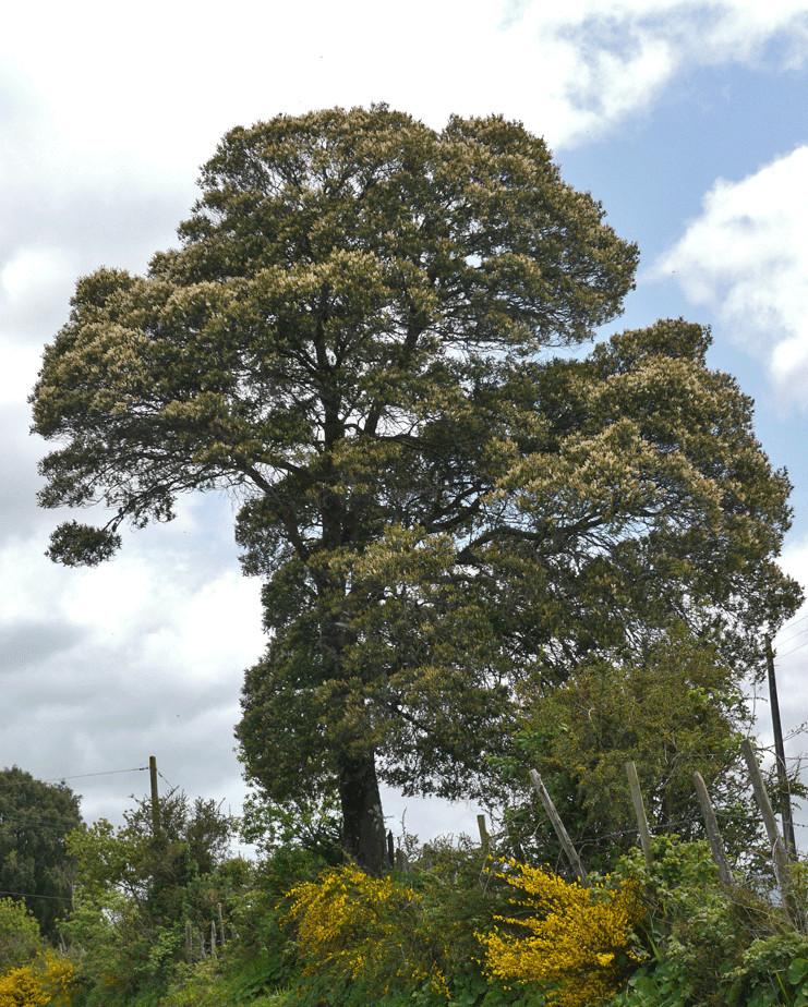 Tineo Baum